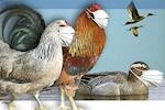 Ομοιοπαθητική και γρίπη των πτηνών